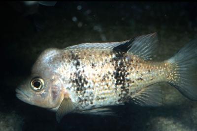 Katria Cichlidae